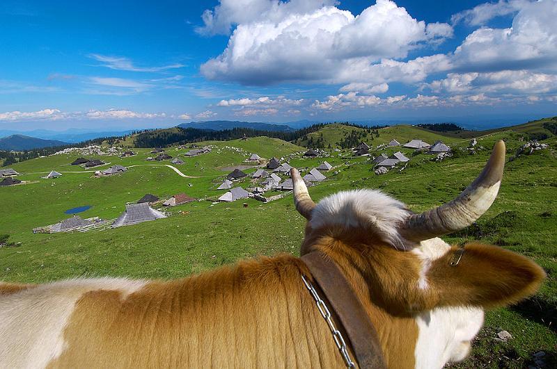 Корова на Горе