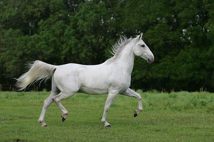 Липица и её лошади